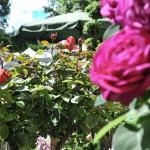 rosenmesse-50
