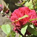 rosenmesse-55